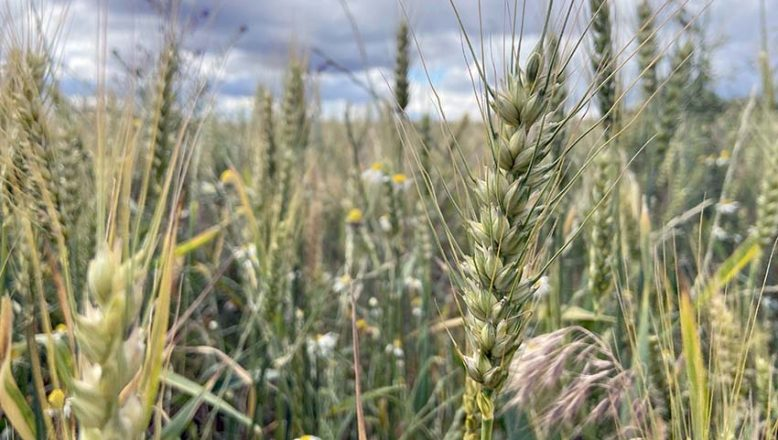 Buğday, son yağışlarla tane doldurdu