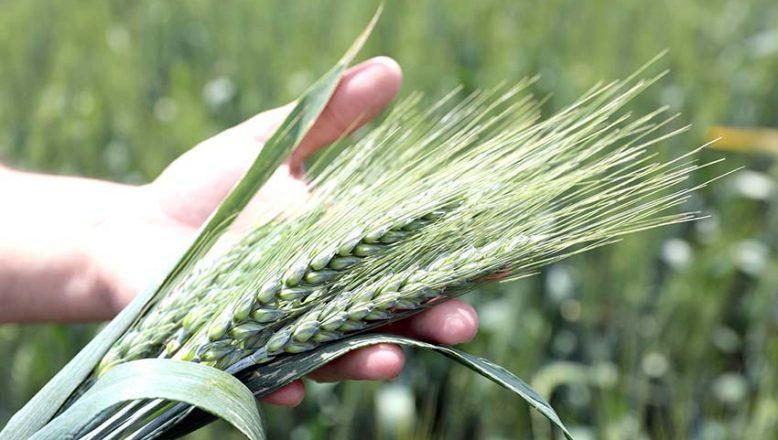 Buğdayın kilogramı en yüksek 3,184 liradan satıldı