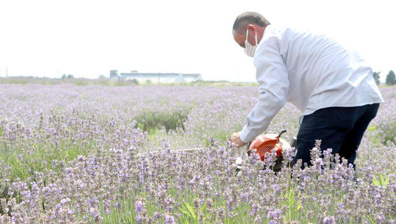 Mor tarlalarda hasat zamanı