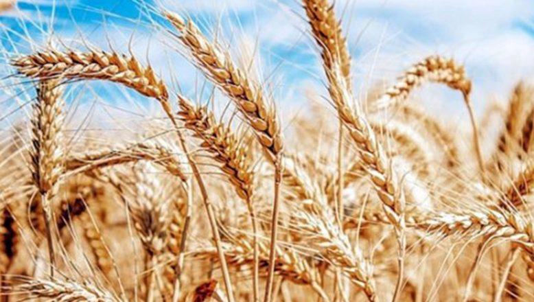 Bulgaristan'da buğday verimi yüzde 55 arttı