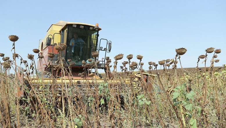 """""""Doğanın sarı gelini"""" için hasat vakti"""