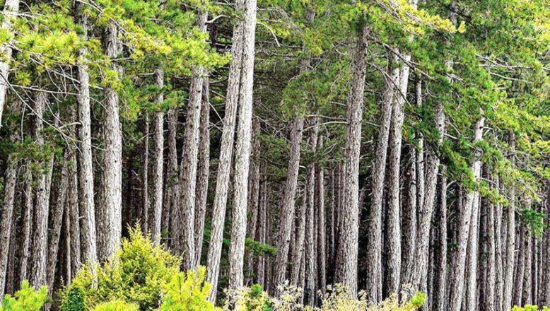 Muhtelif çeşitte ağaç satılacak