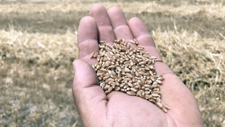 Buğdayın kilogramı en yüksek 3,192 liradan satıldı